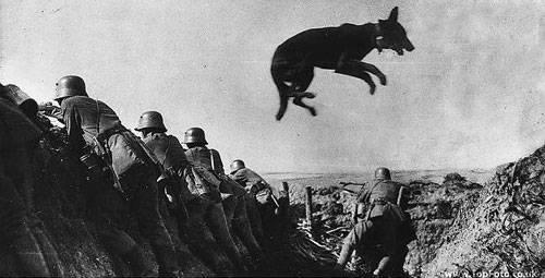 Собаки Русской армии на передовой Первой Мировой Войны