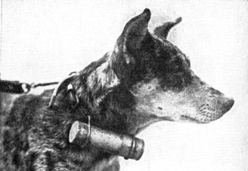 Chiens de l'armée russe en première ligne de la Première Guerre mondiale