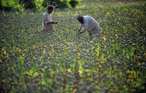 今年阿富汗鸦片产量增加了61