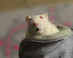 GRU y FSB adoptan ratones de combate