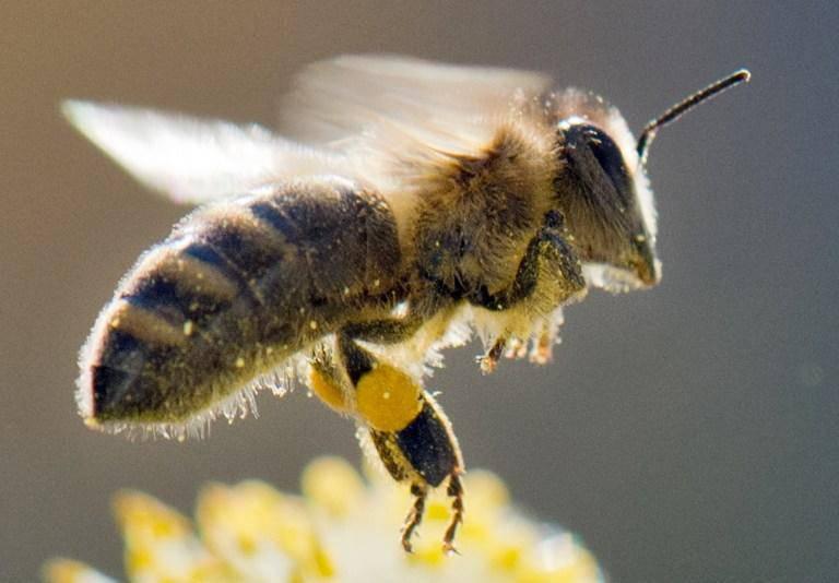 克罗地亚科学家培育了蜜蜂工程师