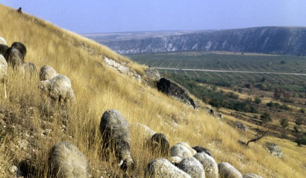 Moldovan soldiers instead of service graze sheep