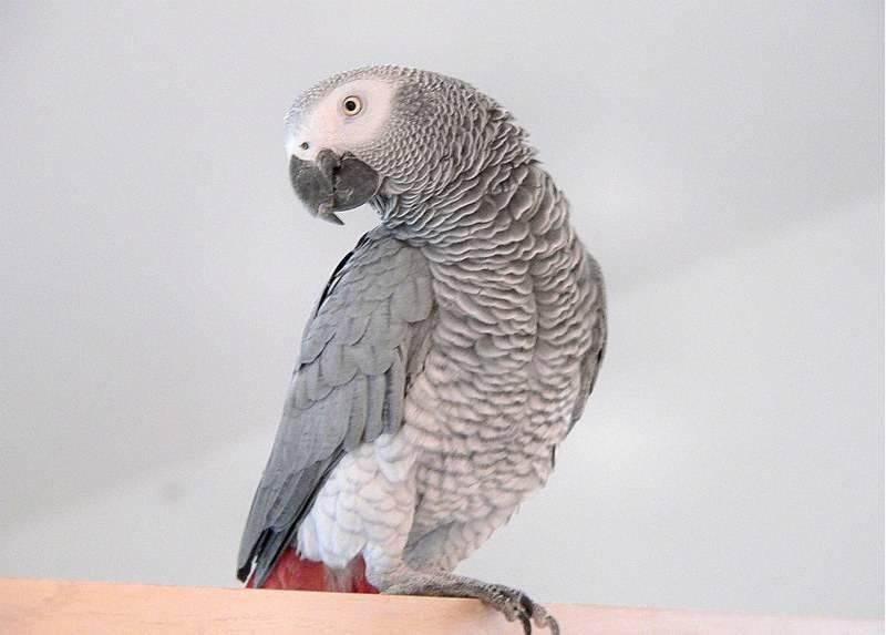 Pro papağan Jaco