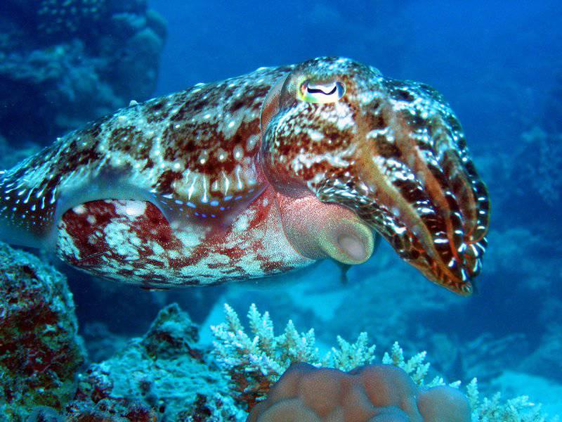 Создателей военного камуфляжа вдохновил природный камуфляж осьминогов и каракатиц