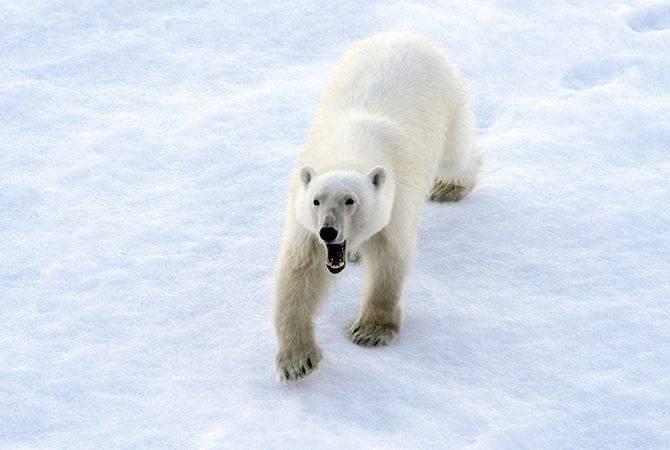 Survivre près de l'ours polaire - Instructions de l'armée russe dans l'Arctique