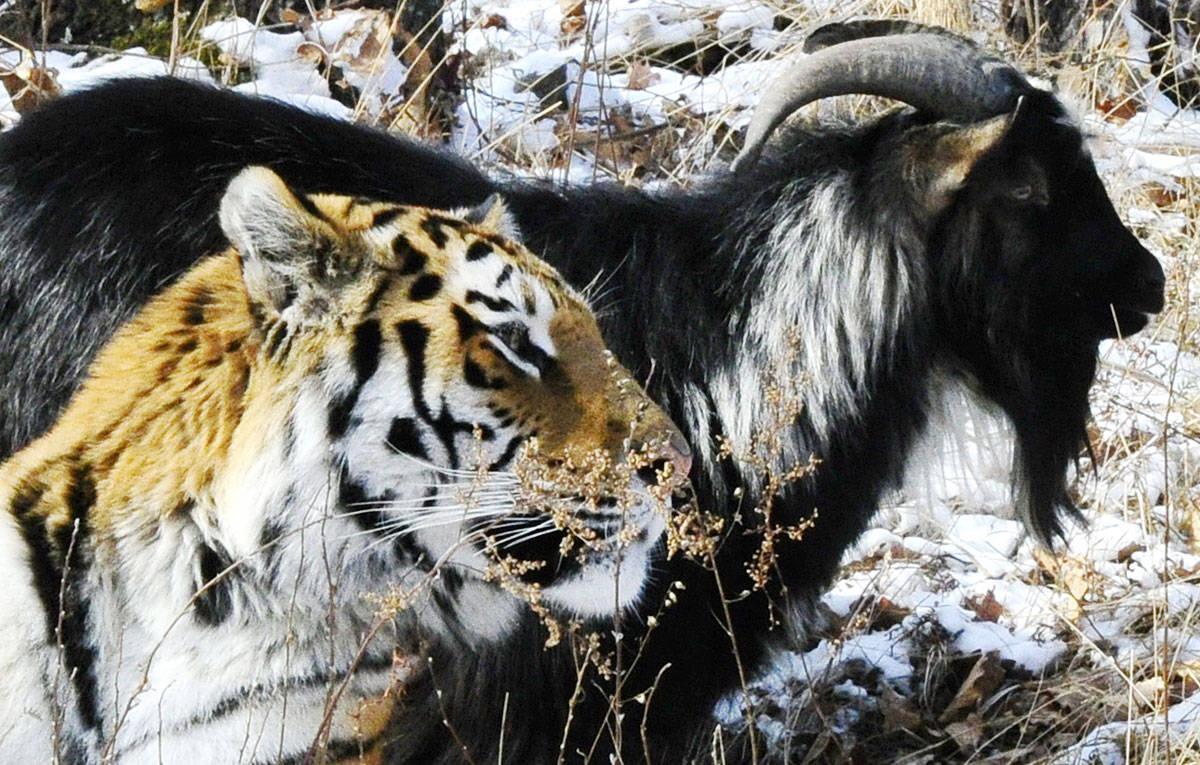 про козла тимура и тигра амура расшифровка символов