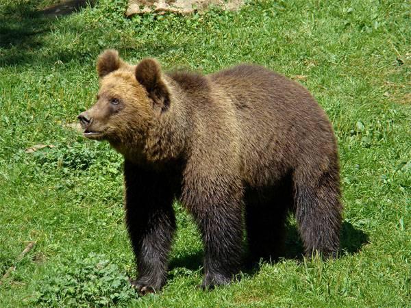 El oso pardo se dirigió a una base militar en Finlandia, asustando a los participantes de los ejercicios militares de la OTAN