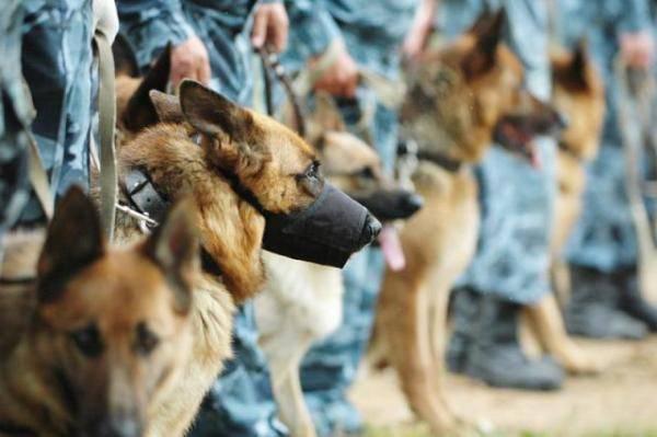 Operatori di cani da giorno MIA. Come apparve e si sviluppò l'allevamento del cane poliziotto