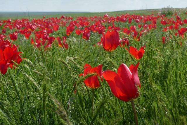 Отцовская «беломорина», тюльпаны и соль