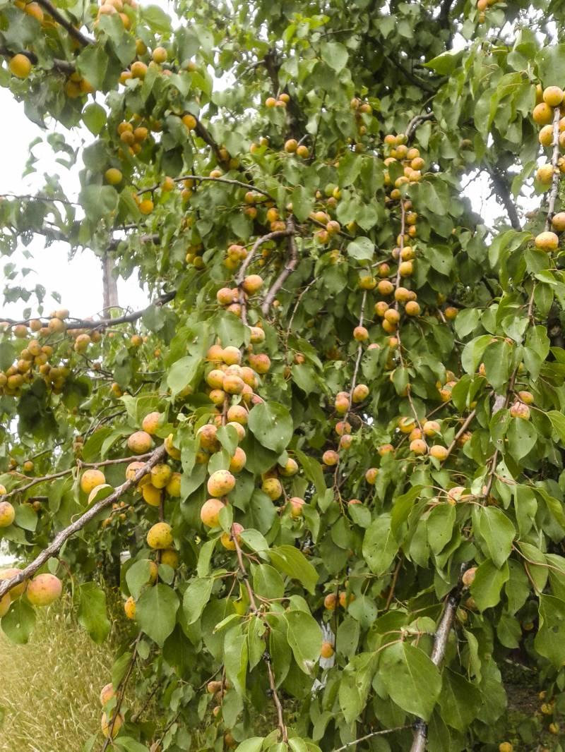 Армянские абрикосы и российские удочки