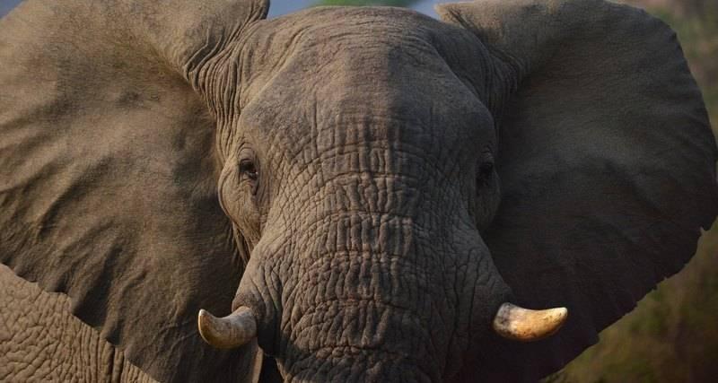 История боевых слонов: курс элефантерии