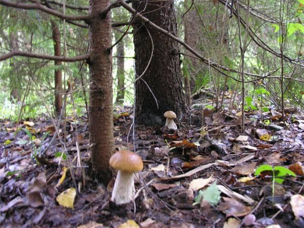 Устрашения неполучилось: армия США пала жертвой польских грибов