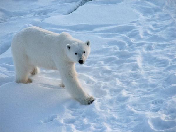 러시아의 배고픈 곰들의 위험에 대해 영국 팬들이 경고했다.