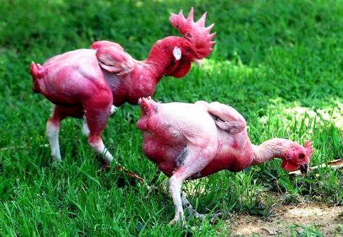 sphinx chickens