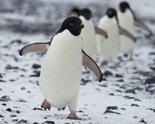 阿黛尔企鹅队