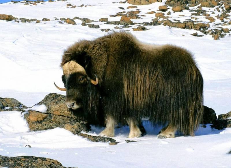 Мускусный бык (он же овцебык) собственной персоной. Обладатель длинной (до 50–60 см) и самой тёплой в мире шерсти